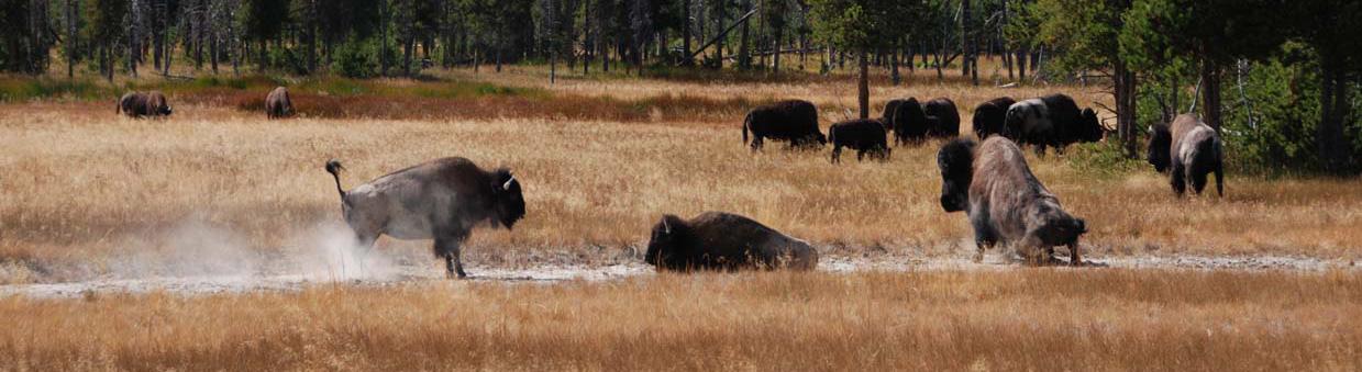 Büffel beim Staubbad