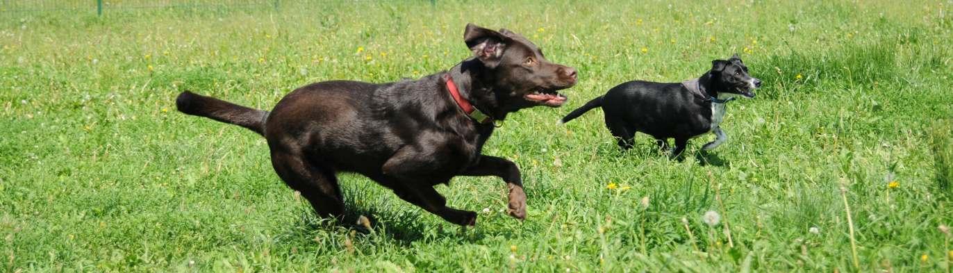 Thora und Spike jagen hinter der Frisbee her