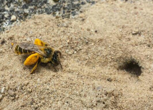 Erdnistende Wildbiene (Hosenbiene/ Dasypoda hirtipes)