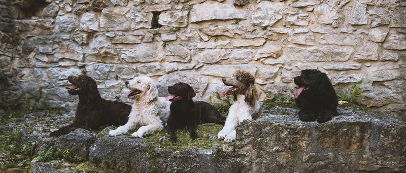 Labradoodle Labradoodle Von Burg Wolfs Webseite