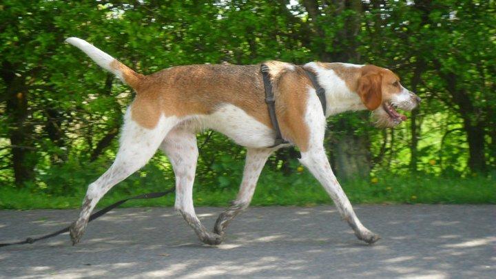 Part welsh foxhound