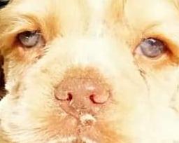 Fulvo Duddle (occhi e naso chiari), non corretto per le esposizioni