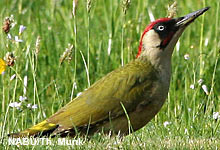Der Grünspecht - Vogel des Jahres 2014
