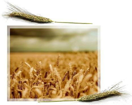 Faut-il supprimer le gluten de notre alimentation ?