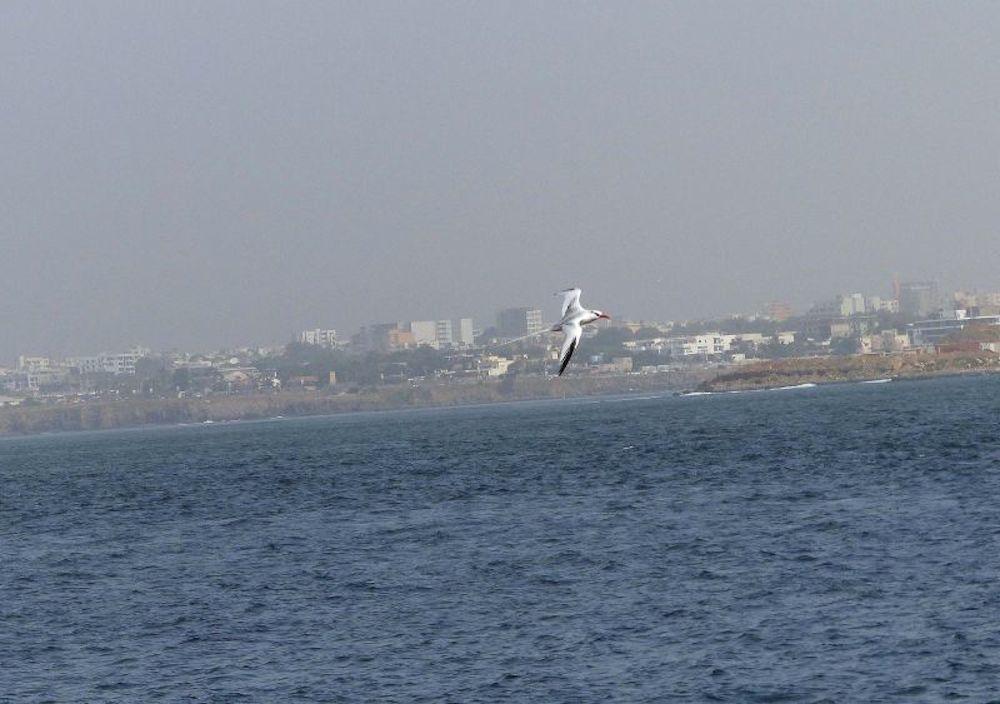 Rotschnabel-Tropicvogel auf Madeleinen-Insel vor Dakar (Foto: Dr. Doro Koch)