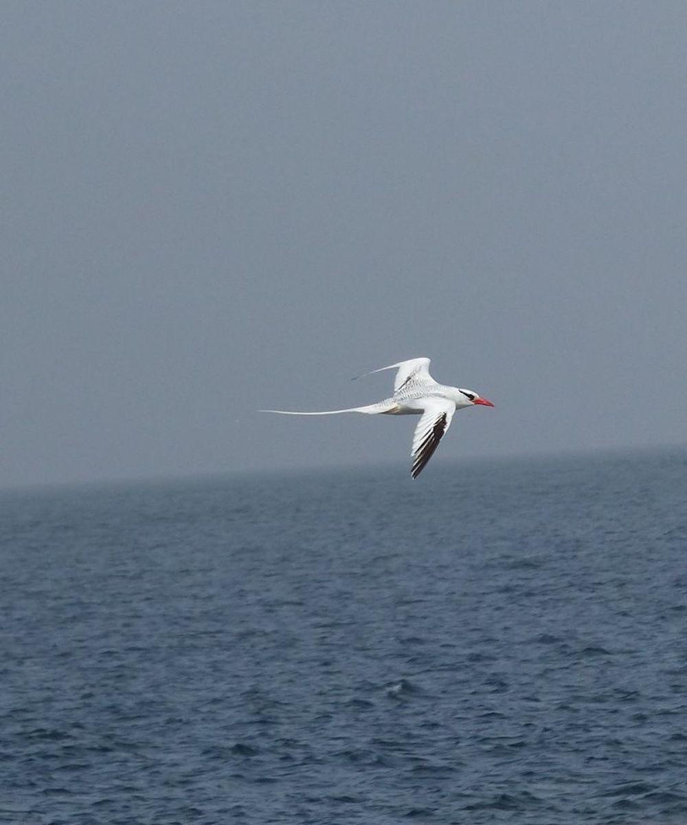 Rotschnabel-Tropicvogel auf Madeleinen-Insel (Foto: Dr. Doro Koch)