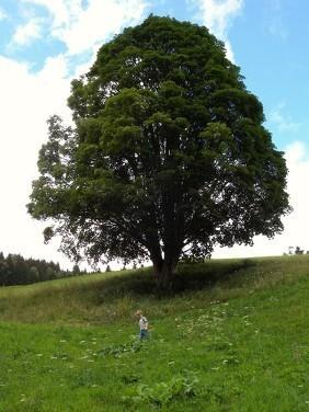 www.ronaldosephius.nl Grote boom Bewust Groeien vanuit innerlijke kracht