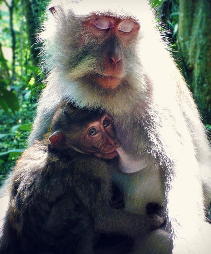 Get close to the Monkeys at the Sacred Monkey Forest in Ubud | One of 10 Top Things To Do In Bali Indonesia | via @Just1WayTicket