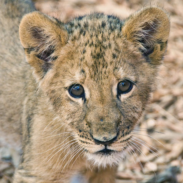 Lion cubs are just the cutest thing ever | Volunteering with Wildlife and Children in South Africa - My Enriching Experience | via @Just1WayTicket