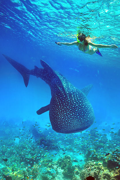 Whalesharks in the Philippines | Top 10 Things to do in the Philippines | via @Just1WayTicket