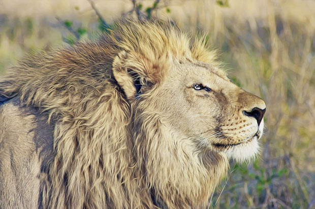 Majestic lion | Volunteering with Wildlife and Children in South Africa - My Enriching Experience | via @Just1WayTicket