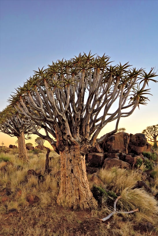 Bizarre Desert Trees | Travel Guide To Namibia - Things To Do And Places To Stay | via @Just1WayTicket