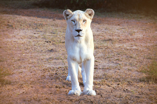 White lions are a unique genetic rarity | Volunteering with Wildlife and Children in South Africa - My Enriching Experience | via @Just1WayTicket
