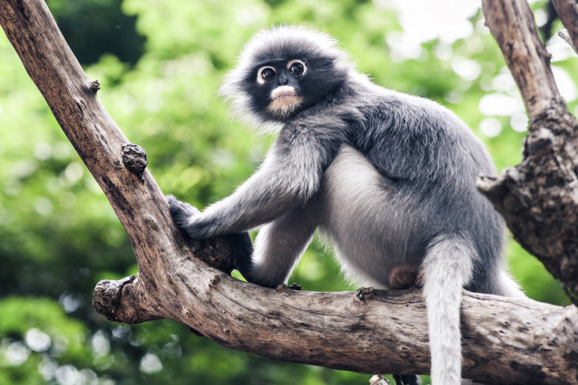 Dusky Leaf Monkey in Langkawi Island, Malaysia - 10 Luxury and Adventurous Things to do | via @Just1WayTicket