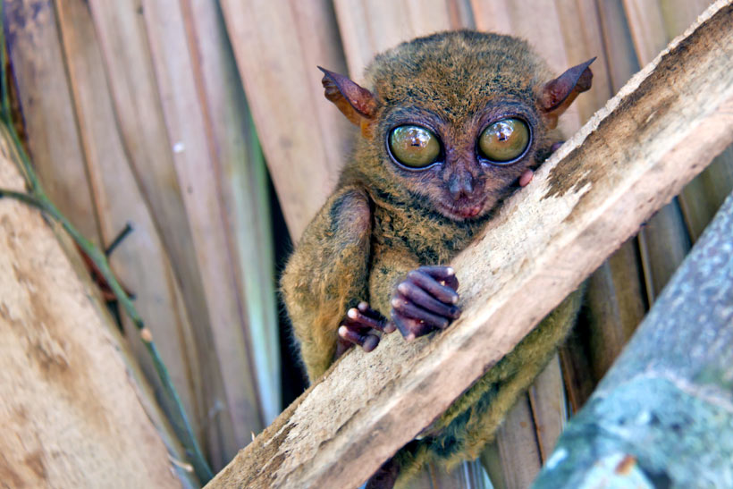 Tarsier in Bohol | Top 10 Things to do in the Philippines | via @Just1WayTicket