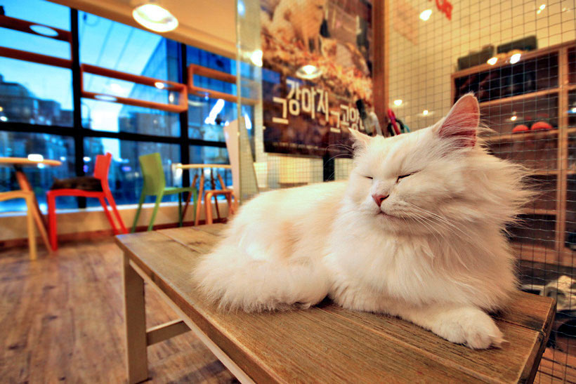 10 Amazing Things To Do In Seoul, South Korea: Cat Café © Sabrina Iovino | via @Just1WayTicket