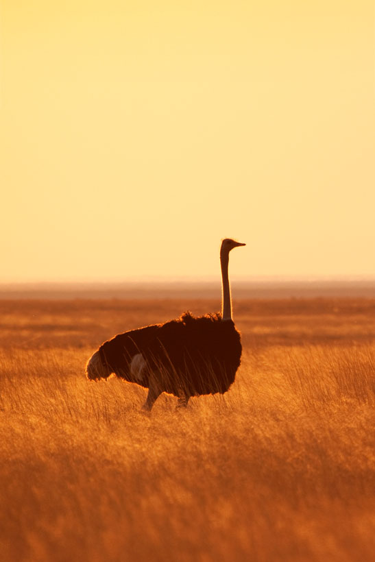 Ostrich in Kalahari Desert | Travel Guide To Namibia - Things To Do And Places To Stay | via @Just1WayTicket