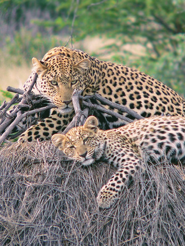 Too cute! Leopard mum and her baby | Volunteering with Wildlife and Children in South Africa - My Enriching Experience | via @Just1WayTicket