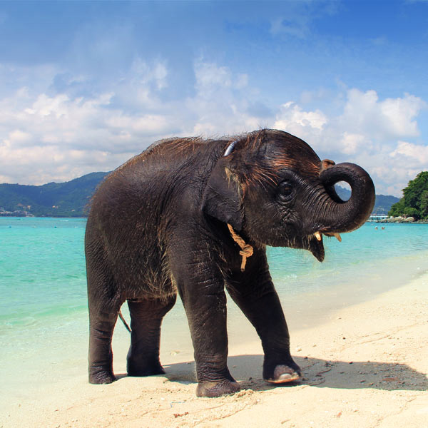 Bath with an Elephant | Travel Guide To Phuket: Things To Do in Phuket And Places To Stay | Phuket offers natural beauty, rich culture, white beaches, tropical islands and plenty of adventure activities | via @Just1WayTicket | Photo © Sabrina Iovino