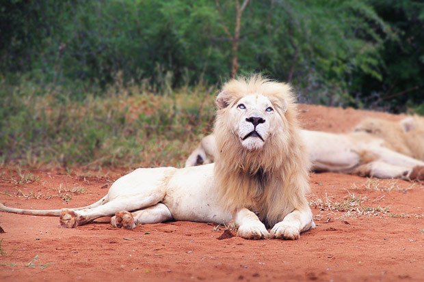 White lion with blue eyes are such spectacular animals | Volunteering with Wildlife and Children in South Africa - My Enriching Experience | via @Just1WayTicket