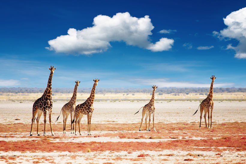 Giraffes in the Desert | Travel Guide To Namibia - Things To Do And Places To Stay | via @Just1WayTicket