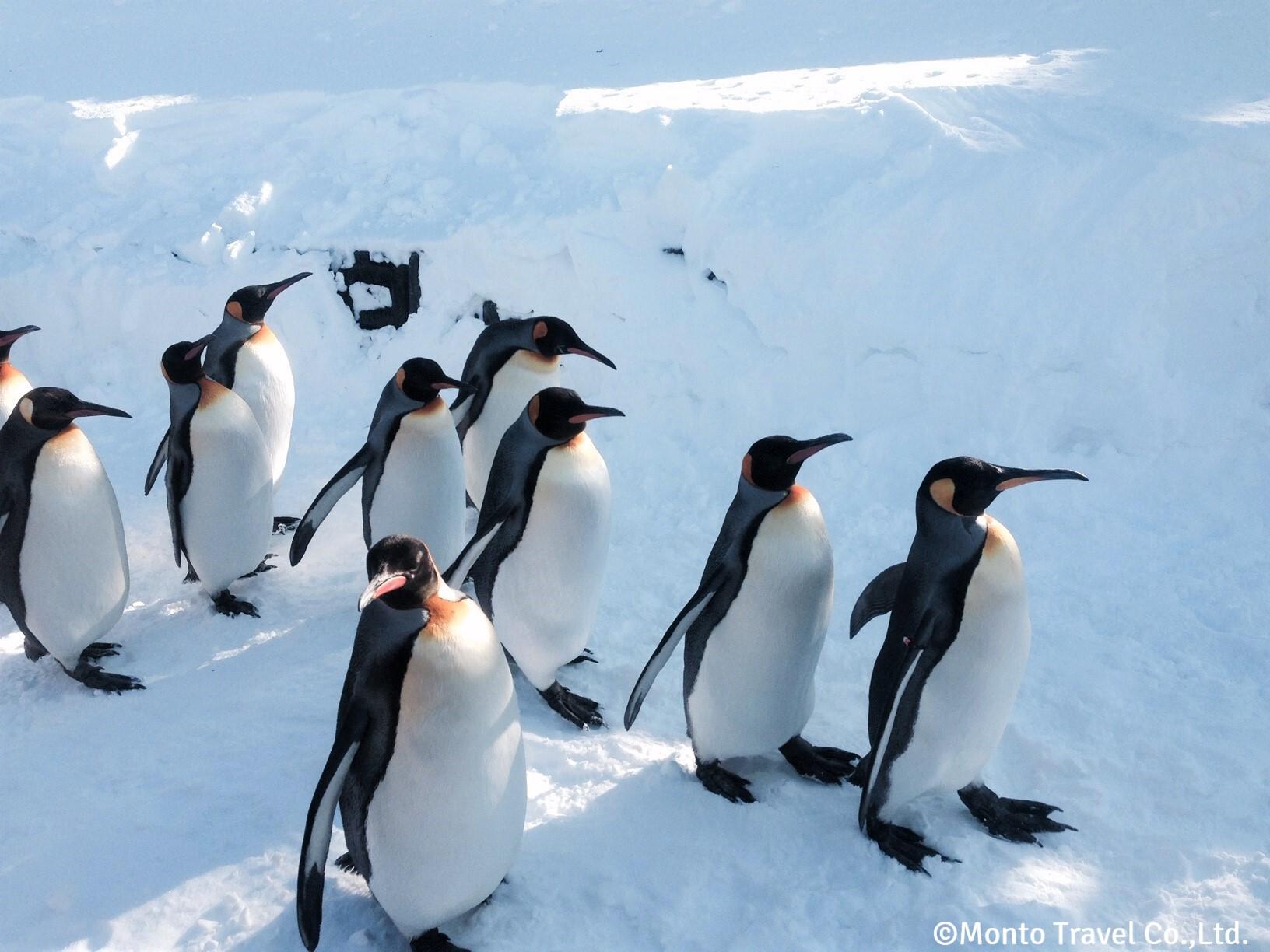 旭山動物園 ペンギンのお散歩