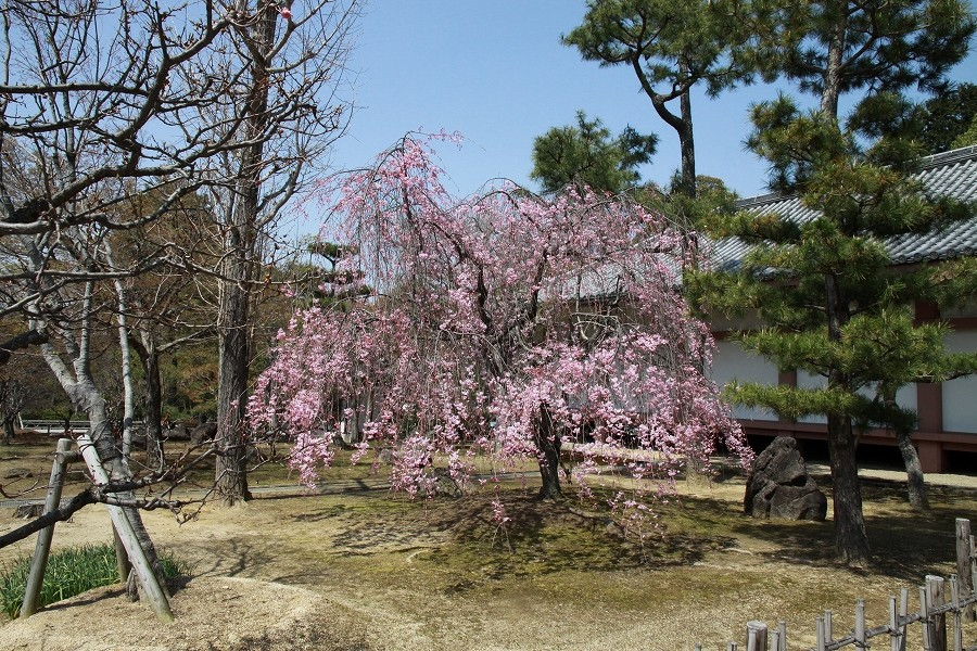 真言宗智山派智積院の枝垂れ桜