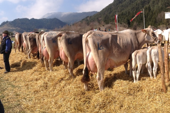 """Die Kuhfamilie von der Kuh """"Köstel"""""""