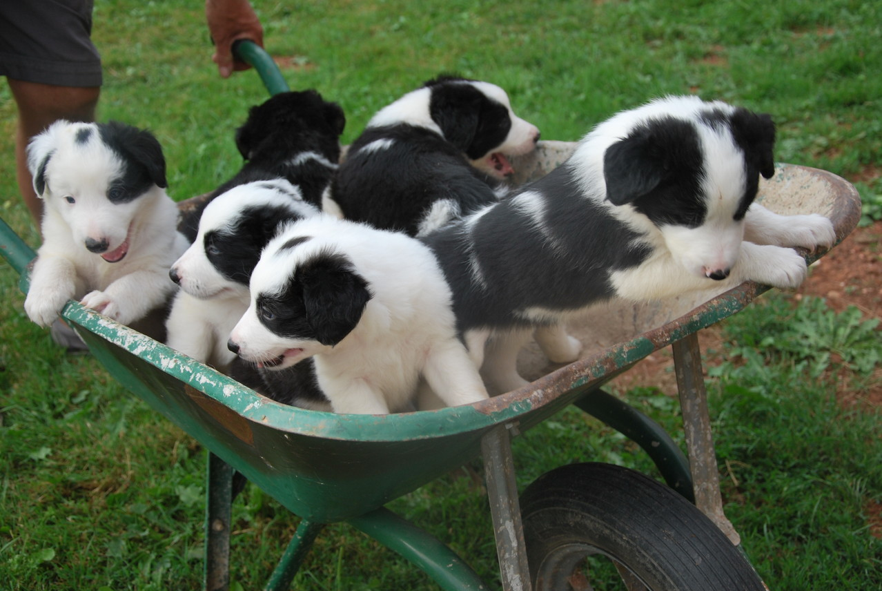 Les chiots Border Collie