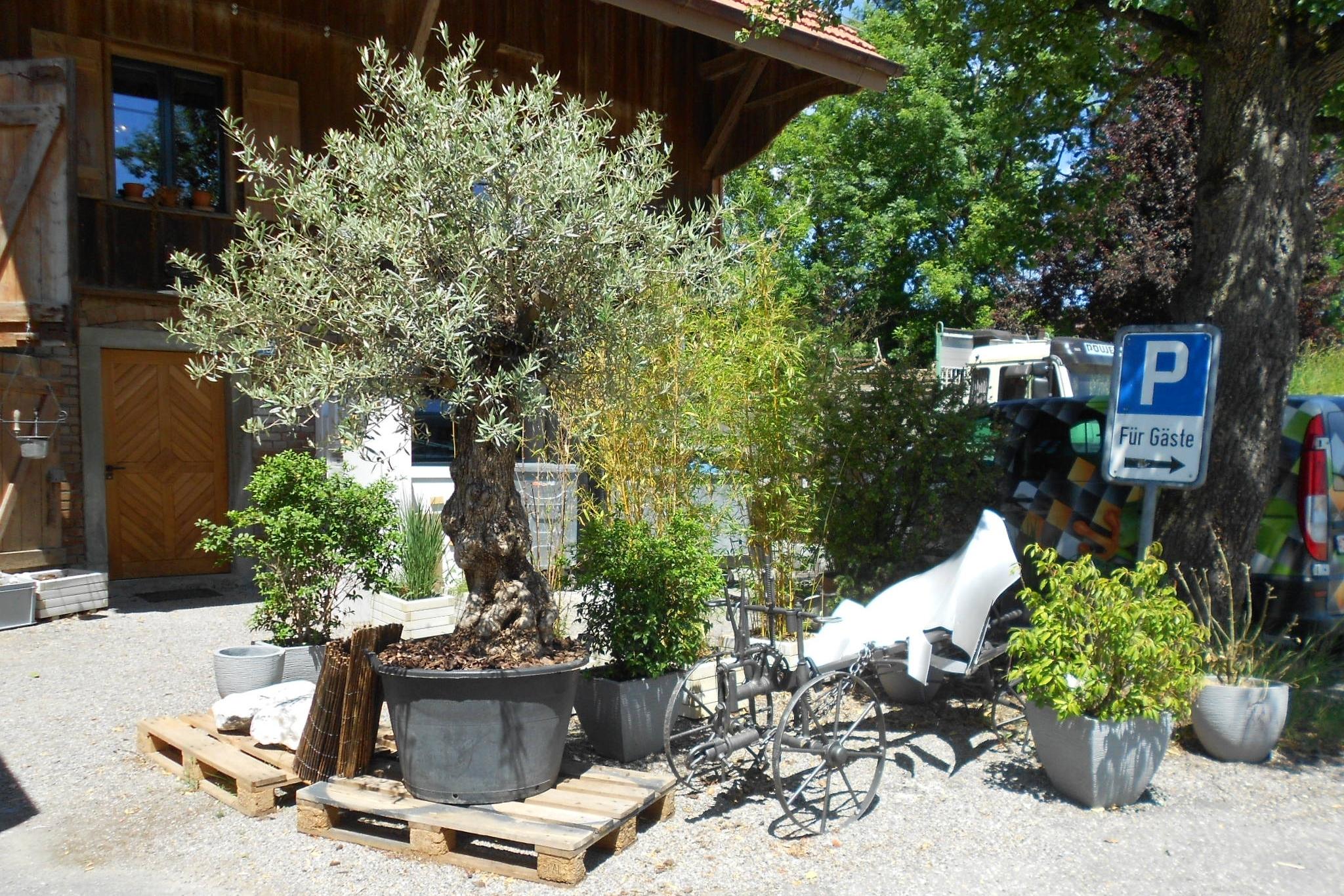 Olivenbaum und andere Bäume