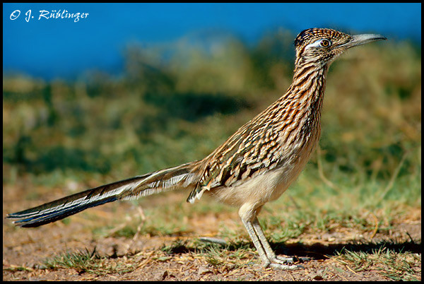 Roadrunner, Arizona USA