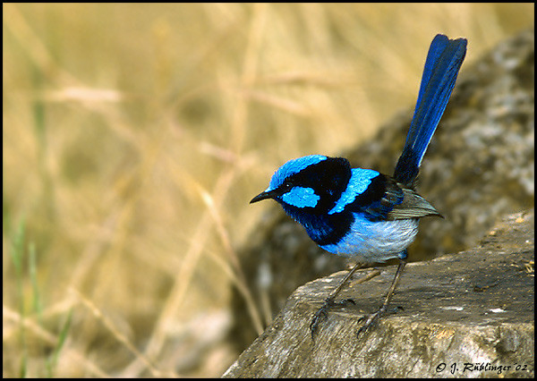 Superb Blue Wren, Australien