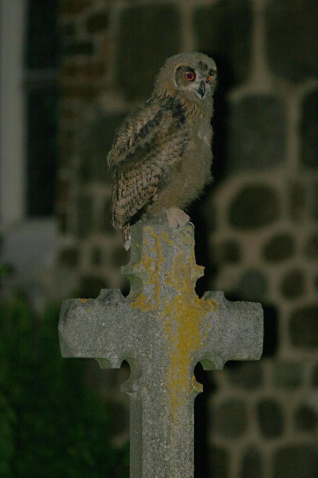 Nachts auf dem Friedhof: Uhu (Bubo bubo), Eagle Owl © Thorsten Krüger