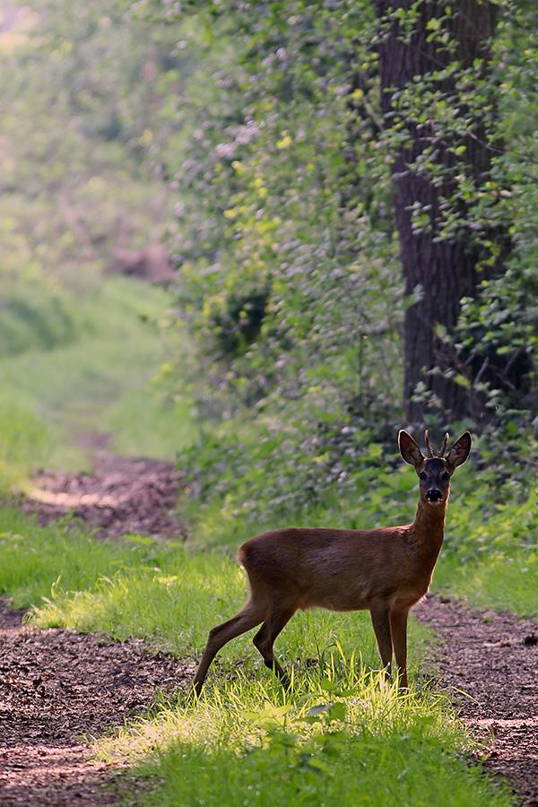 Reh (Capreolus capreolus), European roe deer © Thorsten Krüger