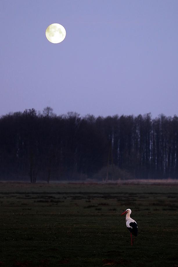 Weißstorch (Ciconia ciconia) noch vor Tau und Tag, White Stork © Thorsten Krüger