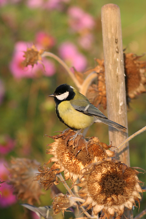 Kohlmeise (Parus major), Great Tit © Thorsten Krüger