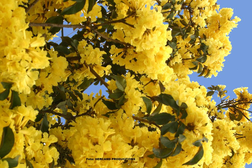 El Lapacho Amarillo, uno de los más bellos árboles del Paraguay