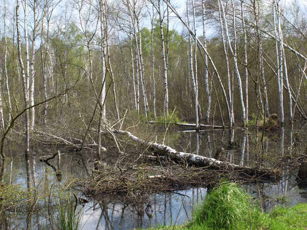 Wiedervernässung Großes Moor: Foto:NABU/M.Gräwe