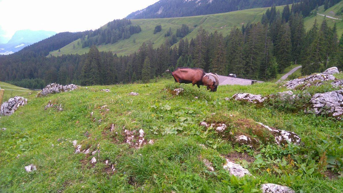 auf der Ackernalm gibt es nicht nur Kühe