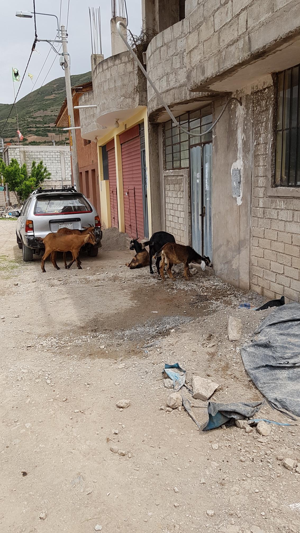 Ziegen ziehen unsere Straße entlang.
