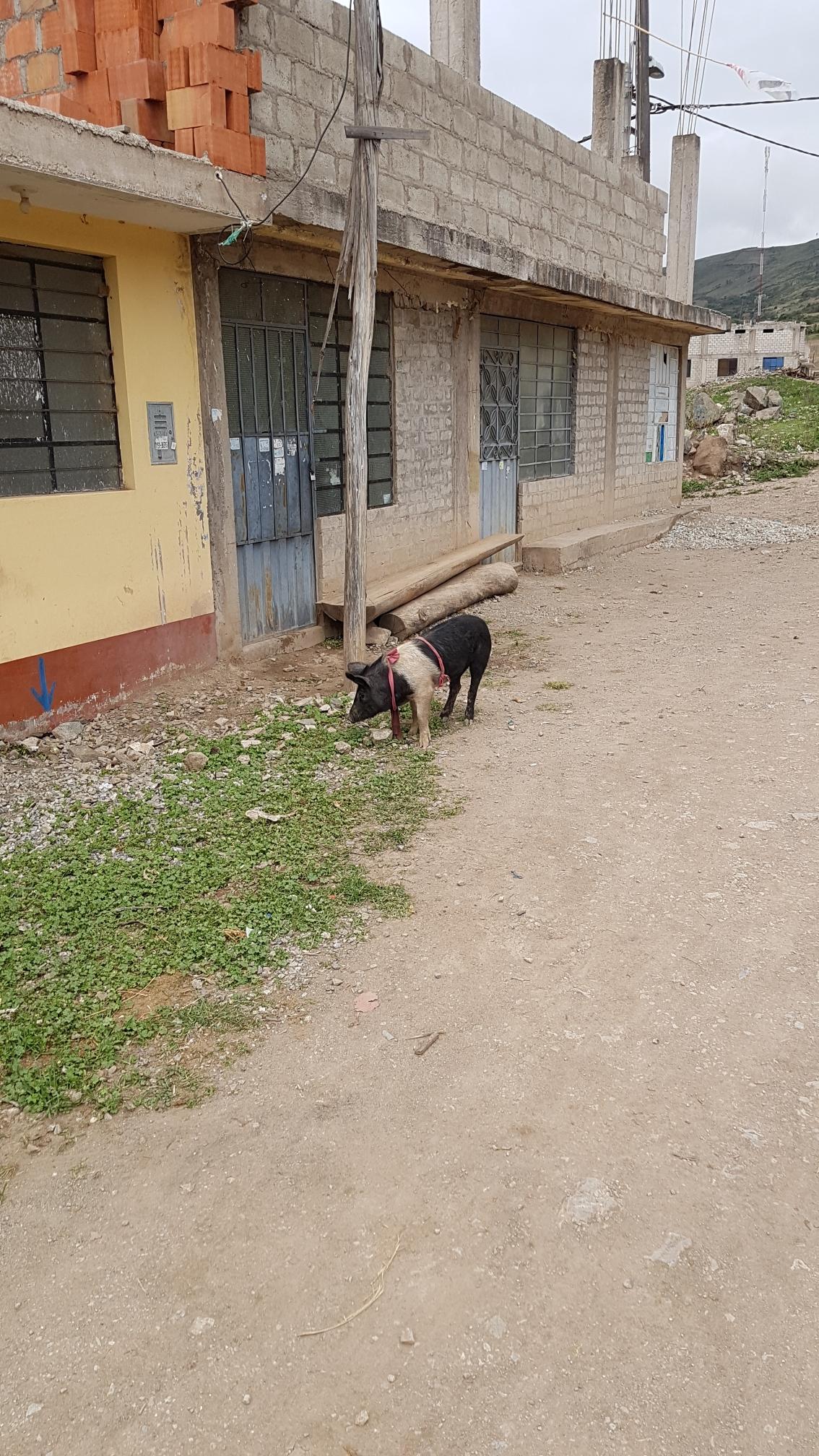 Nutztiere leben auf der Straße, wie hier das Schwein.