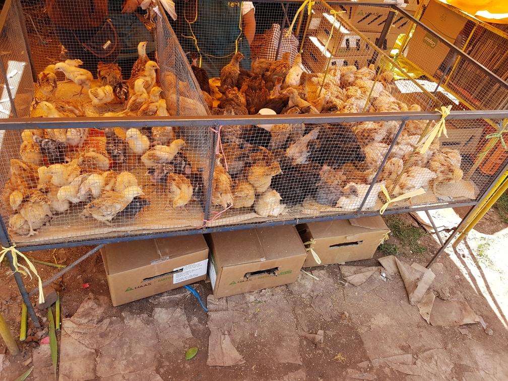 Lebende, junge Hühner