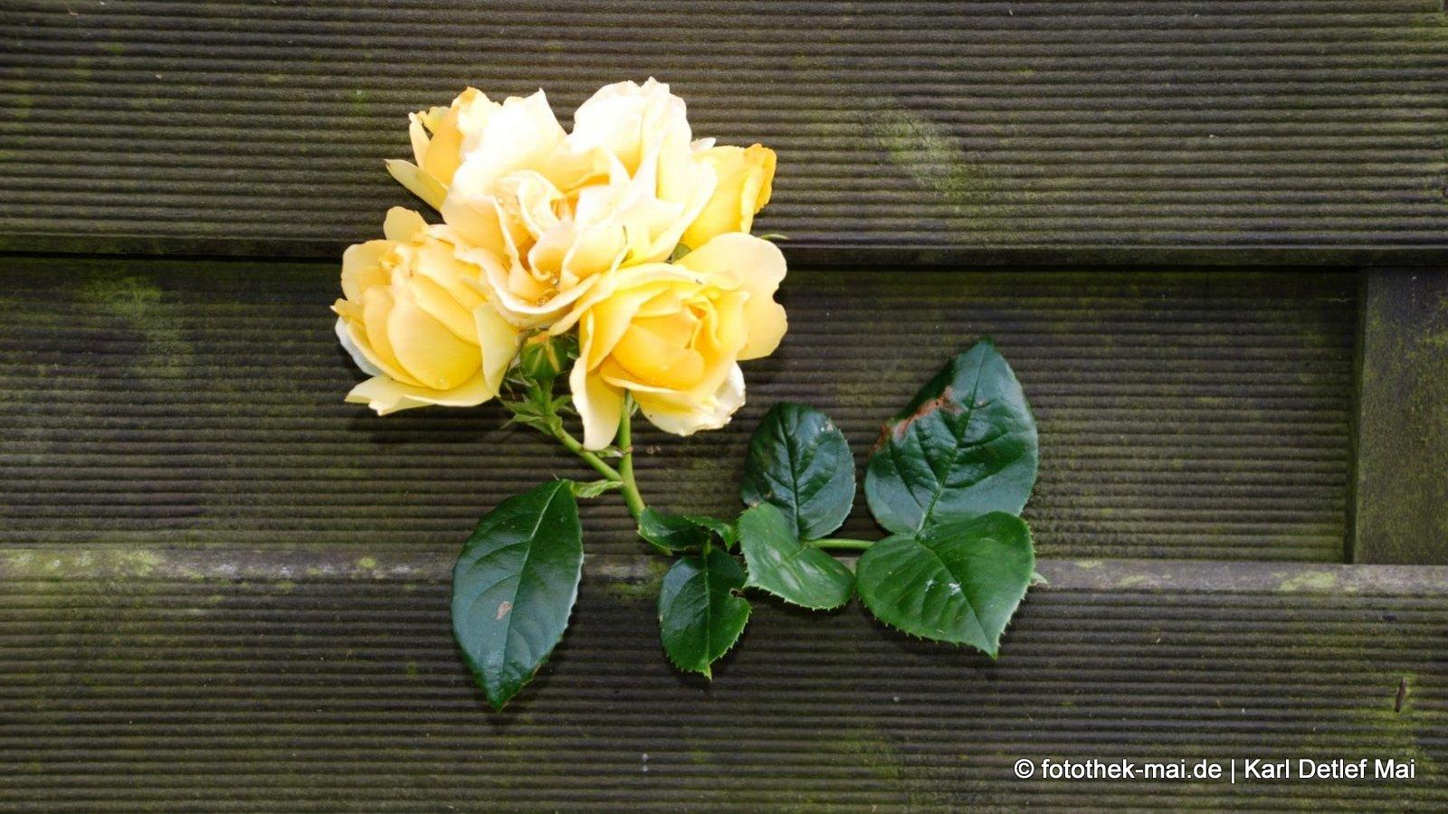 Wissen, wo man hingehört // Rose wächst durch den Zaun in Graal-Müritz