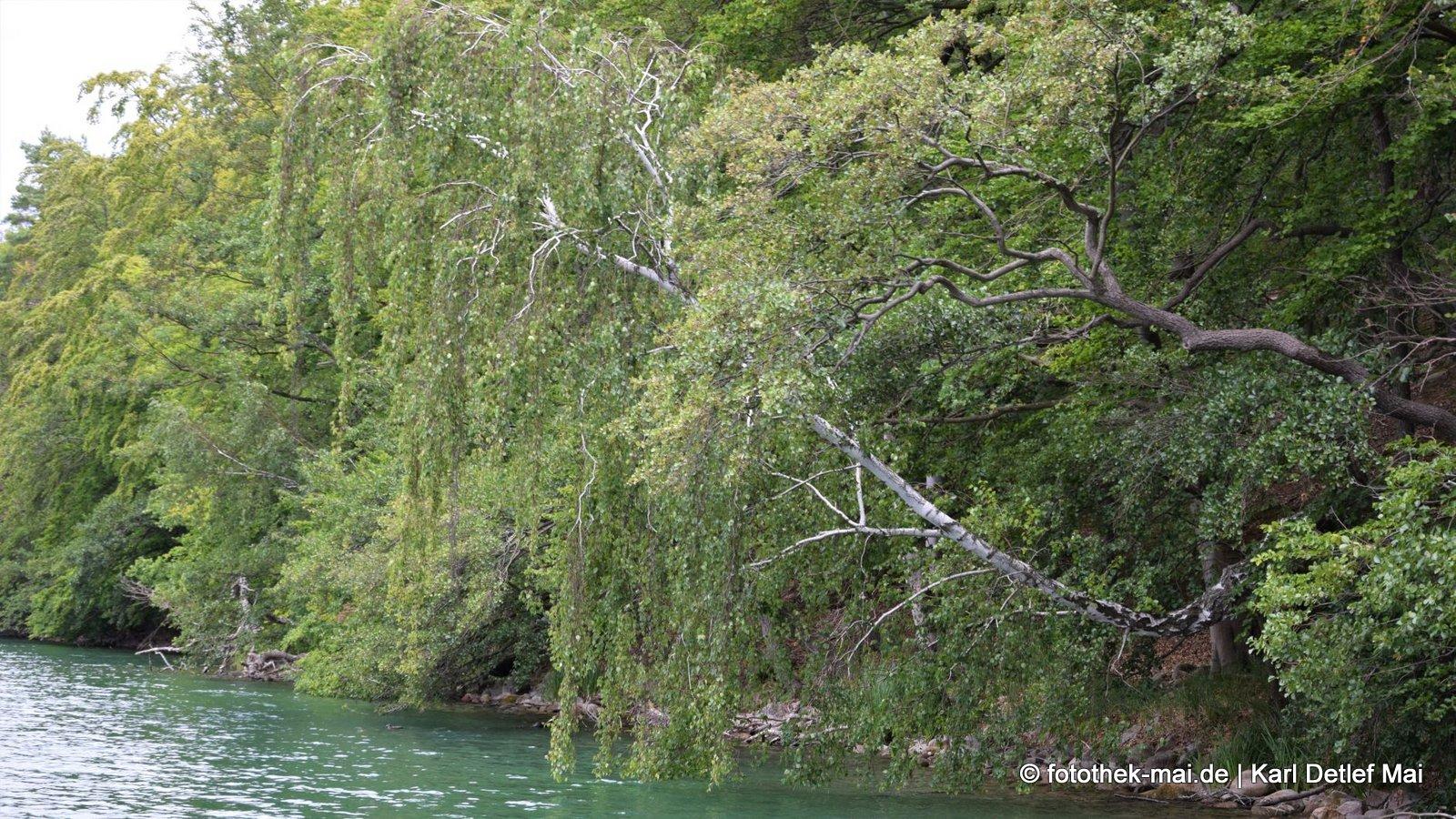 Wo eine Wille ist // Bäume am Ufer des Schmalen Luzin bei Feldberg