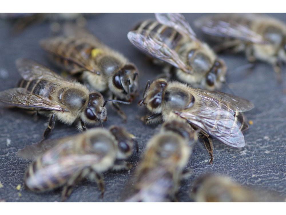 巣門の前に集まるニホンミツバチ