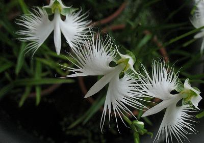 世田谷区の花「サギソウ」