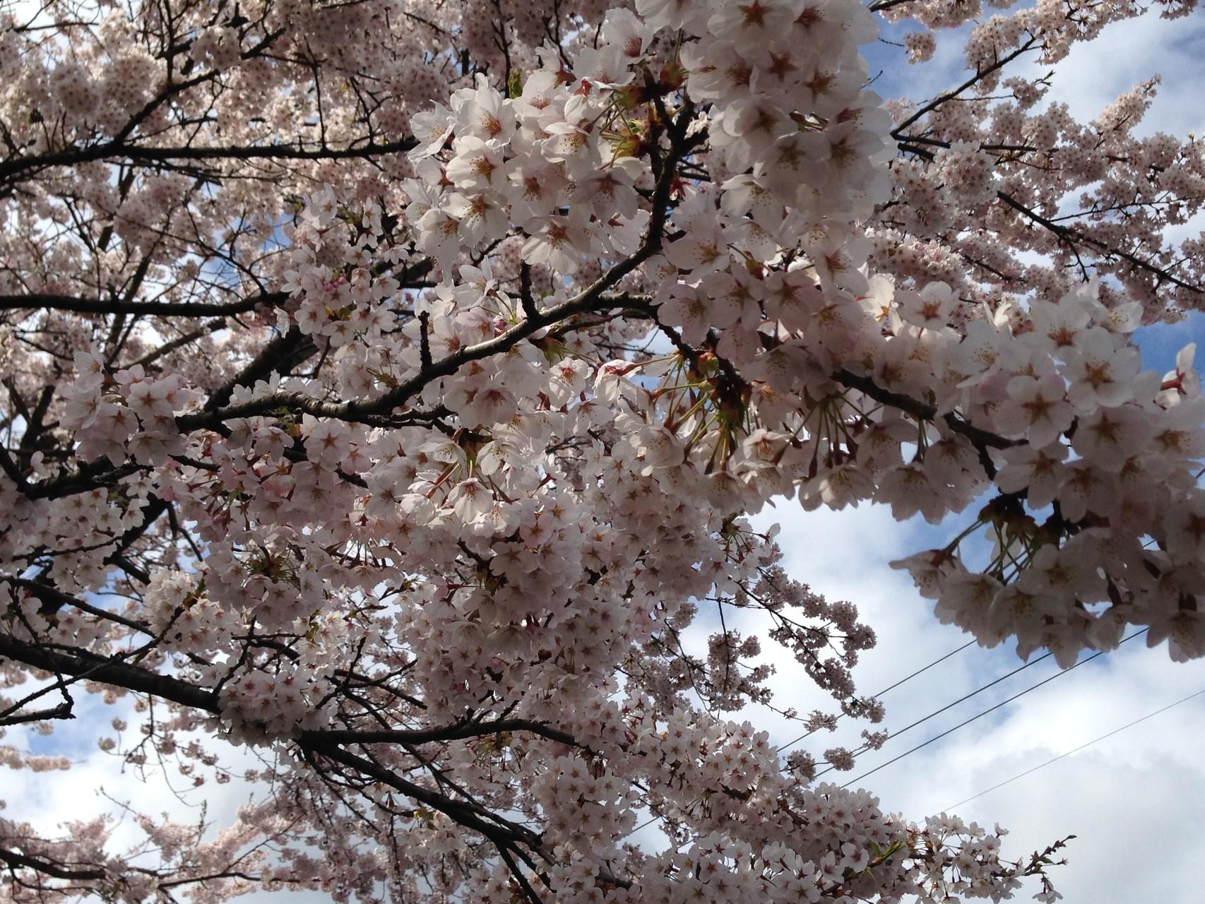 将監沼は今や桜の名所へ