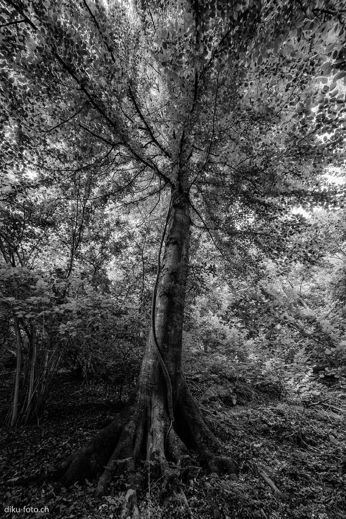 Baum in der Ermitage Arlesheim