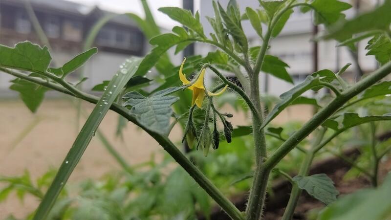 収穫体験用の野菜を植え付け完了