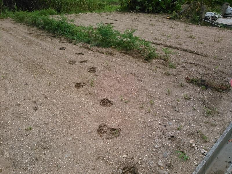 イノシシ の 足跡